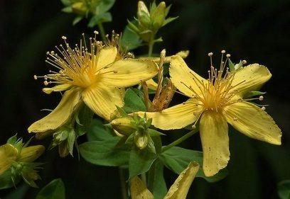 Цветы зверобоя в домашнем коньяке